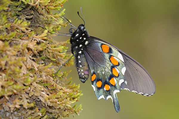 Pipevine Swallowtail (Battus philenor) Female Butterfly in Tenne